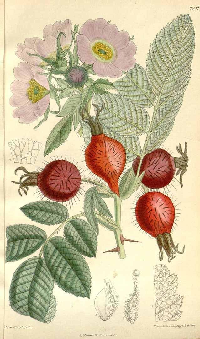 4773 Rosa villosa L. [as Rosa pomifera Herrm.] / Curtis's Botanical Magazine, vol. 118 [ser. 3, vol. 48]: t. 7241 (1892) [M. Smith]