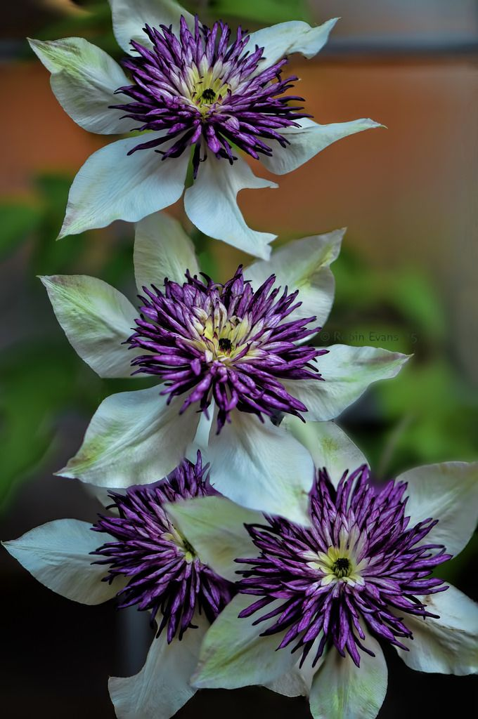 ~~Quattro | Florida Sieboldii Clematis is a very unique clematis with creamy white flowers with large centers of purple stamens | by Robin Evans~~