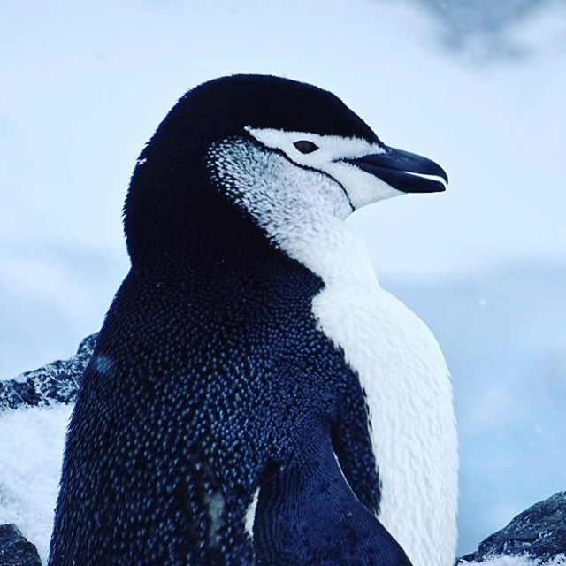 Chinstrap penguin in antarctica  Reisebericht auf Travelinspired! #chinstrappenguin #zügelpinguin #pinguin #penguins #antarctica #antarktis #pinguino  #wildlifephotography #reiseblogger_de  #wildlifeaddicts #wildlife_seekers #wildlifeonearth #instawildlife #naturelovers #adventure #ig_penguin #discoverearth #natgeotravelpic #birdsofinstagram #majestic_earth #explore #collectmomentsnotthings #travelblogger #msfram #hurtigruten #picoftheday #snowyday #frozencontinent