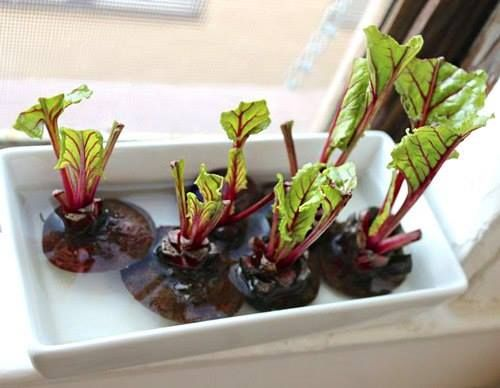 Зелень на подоконнике( морковь, свекла, салат, лук, чеснок)