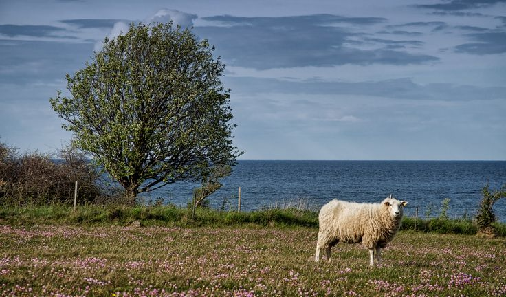 Sheep on the coast - Fyns Hoved, northeast Funen, Denmark... | Flickr - Photo Sharing!