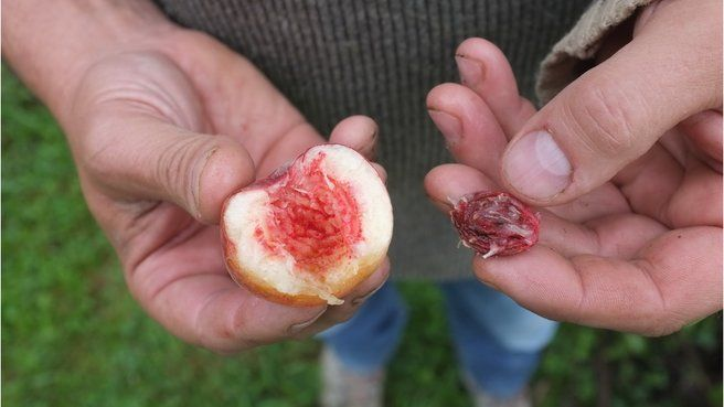 Faire germer un fruit a noyau dur