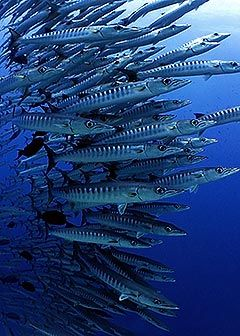 I love how barracudas can hover mid water. Have you ever dived with them?