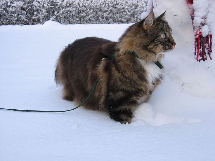 Gato Noruego de Floresta                                                       …