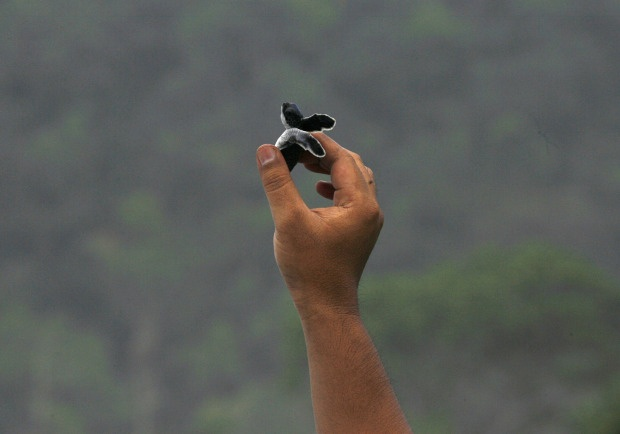 A National Park officer shows a newborn green turtle at a turtle cultivation center in Merubetiri National park before releasing it at the beach in Banyuwangi, East Java March 25, 2012.: Photo