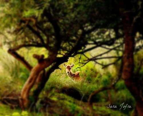 Deer in Tapada de Mafra (2014)