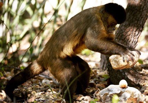 Los monos de América utilizan herramientas desde hace 700 años.  Investigadores de la Universidad de Oxford y la de Sao Paulo en Brasil han encontrado evidencias arqueológicas de que los monos capuchinos brasileños llevan utilizando piedras para romper nueces de anacardo al menos 700 años. Según explican se trata del ejemplo más antiguos del uso de herramientas por parte de monos fuera de África. En su artículo publicado en la revista Current Biology los autores también sugieren que quizás…