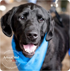 This is Bud - a 5 year old Lab Rescue of the LRCP lab looking for his forever home.