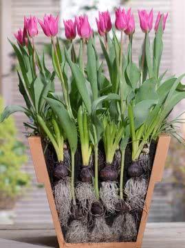 Sadzenie Cebulek Kwiatowych Do Doniczek Planting Bulbs Bulb Flowers Plants