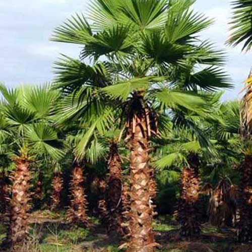 Le Washingtonia robusta (Palmier du Mexique) est un palmier très élégant dont la taille et l'envergure de ses feuilles offrent une réelle impression de prestige.