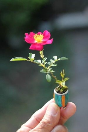 Too small rose Bonsai. this is so beautiful. I can't believe it is so small!