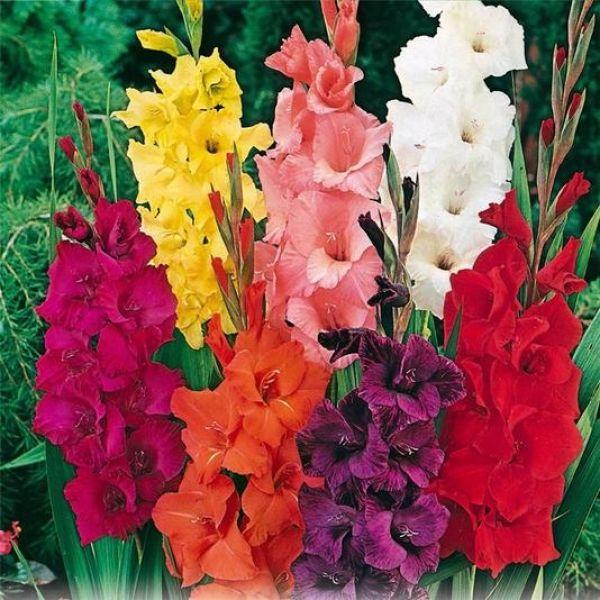 les 25 meilleures id es de la cat gorie gla euls sur pinterest fleurs uniques beau jardin de. Black Bedroom Furniture Sets. Home Design Ideas
