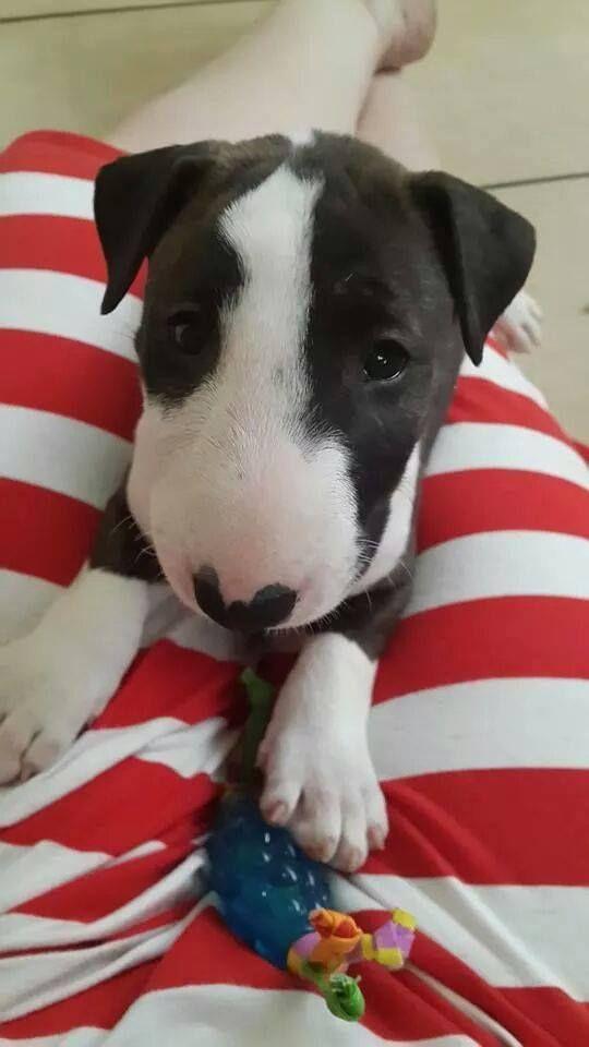 mini Bully - what a cutie!!!:) English Bull Terrier Dog