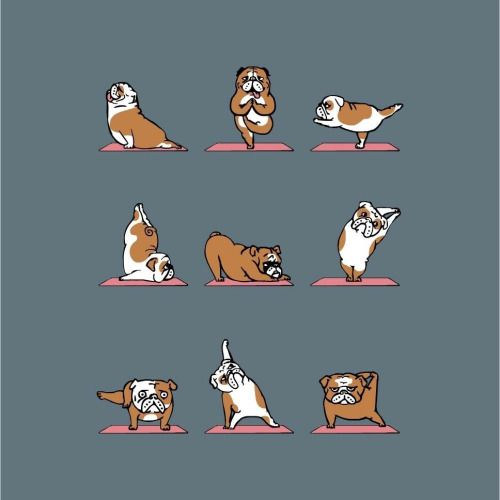 huebucket:  English Bulldog Yoga by @huebucket #yoga #bulldog