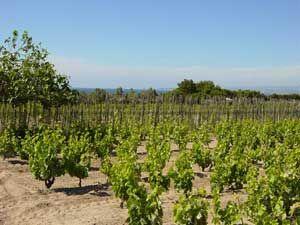 #sandy #vineyards #wine #tasting #sardinia