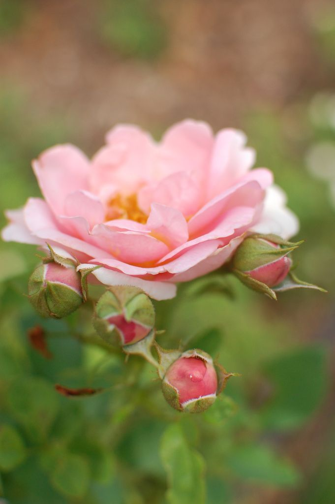 ~When and How to Prune Roses for Lush Results~
