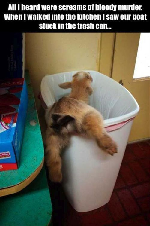 Goat Stuck In A Trash Can funny animals animal pets lol humor funny pictures funny animals animal clothes