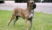 Fila Brasileiro breed info,Pictures,Characteristics,Hypoallergenic:No