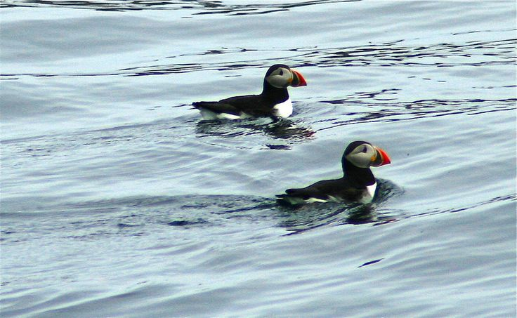Puffins in Witless Bay, Newfoundland. July 2013.
