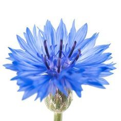 best 20+ bleuet fleur ideas on pinterest | bleuet, fleurs bleues