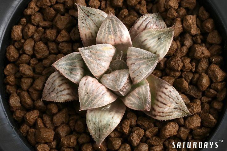 未氷雨x銀鱗  #haworthia #succulent #cactus#picta#多肉植物 #壽 #皮克大 #たにくしょくぶつ #サボテン#ハオルチア #ピクタ#กระบองเพชร#수#하월시아#다육식물 #다육이 #에케베리아