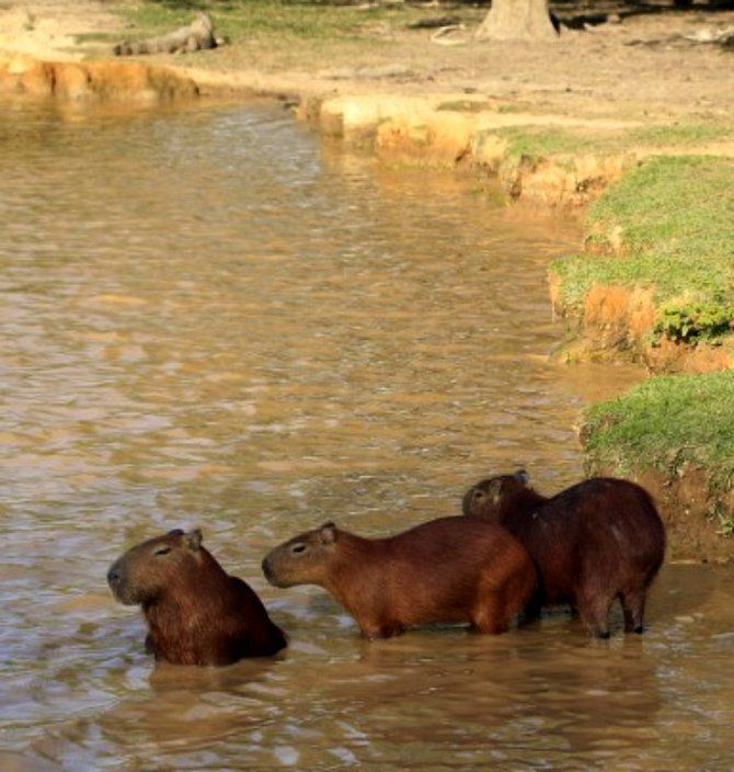 Colombia's Los Llanos region is rich in wildlife, including capybaras – world's largest rodent.