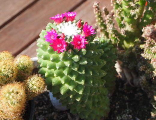 Epingle Sur Cactus