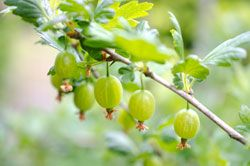 Stachelbeeren pflanzen – So wird's gemacht - Gartentipps.com - Tipps für deinen Garten