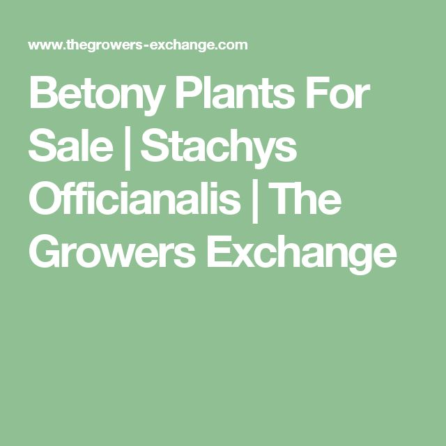 Betony Plants For Sale | Stachys Officianalis | The Growers Exchange