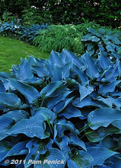 Blue Hostas! Love Hostas! These would be gorgeous with the white hostas I pinned earlier.