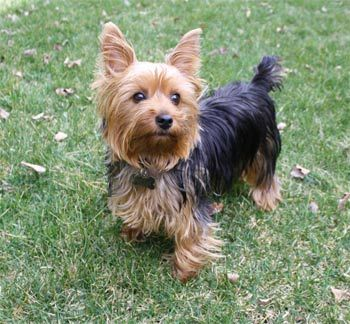 The Yorkshire Terrier,...
