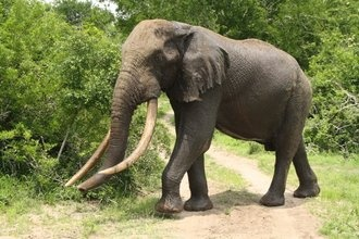 """The area now known as Tembe Elephant Park is real wild country. The land was historically owned by the Tembe tribe, the ancestral custodians of the area. Situated in Northern Zululand, and adjoining the Mozambique border, Tembe National Elephant Park is most widely known for having over 200 of the world's largest Elephants, which are also the last remaining indigenous herd in KwaZulu-Natal. Tembe is also home to a rich diversity of other wildlife - including the """"Big 5"""" (Lion, Leopard, Black…"""