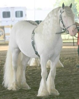White Draft Horse, Horse Feathers HorseWasMyFirstWord.com