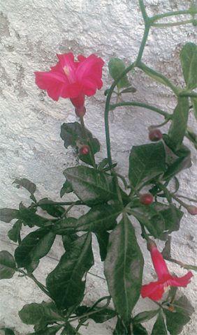 A Ipomeia-rubra (Ipomoea horsfalliae) da casa da ceramista Flavia Del Pra traz colorido ao terraço. É uma trepadeira tropical de crescimento vigoroso (a partir do primeiro ano de desenvolvimento) e floradas na primavera e no verão. Além de sensível ao frio, pede muita água.