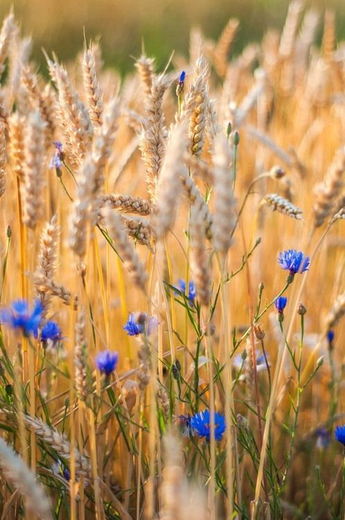 Cornflower in a wheat field. In the past it often grew as a weed in crop fields, hence its name (fields growing grains such as wheat, barley, rye, or oats are sometimes known as corn fields in the UK). 矢車菊大多生長在歐洲的麥田。