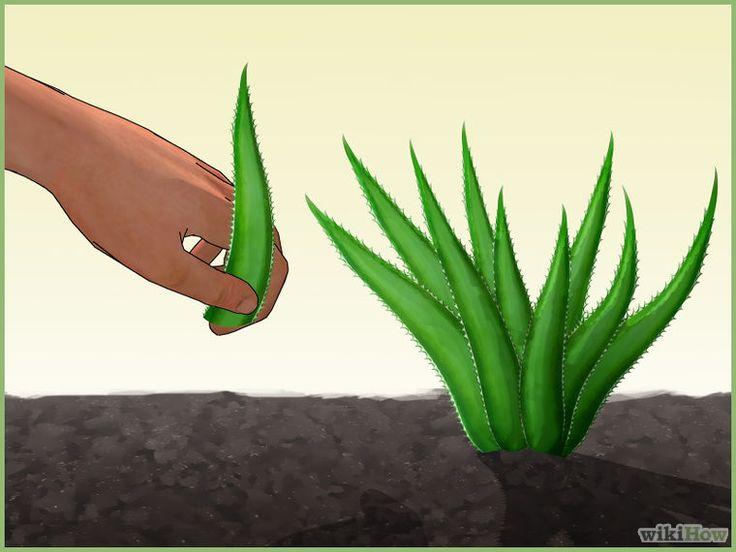 Grow an Aloe Plant With Just an Aloe Leaf Step 1.jpg