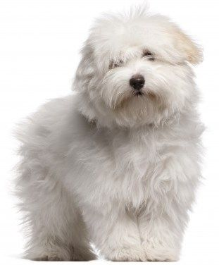Fluffy small breed dogs all under 22 pounds are listed with details about care, personality, description and more.