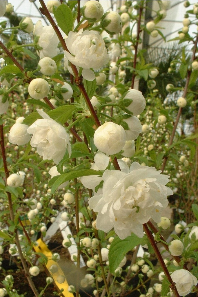 Prunus-glandulosa alboplena