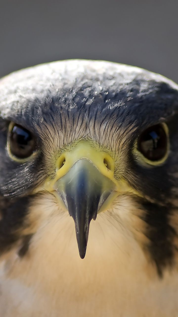 Peregrine Falcon. Raptors have always been near me since I was a little girl. As close to a totem animal as I have.