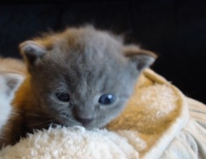 British shorthair kittens and Cat breeder >> British shorthair kittens for sale --> www.british-shorthair-cat.com/available-british-shorthair-kittens