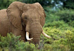 Elefant / ©: Villmarksfotografen Tommy Solberg