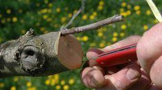 Zum Vermehren oder zum Erhalt einer Sorte lassen sich Obstbäume pfropfen