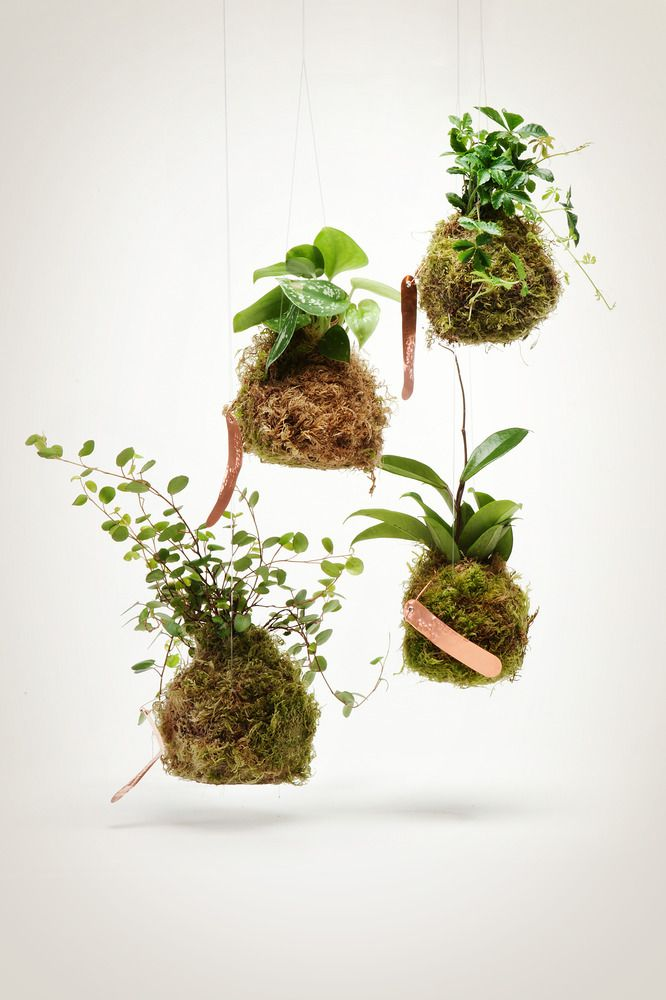 """These vining  string gardens feature our take on the Japanese kokedama -- a type of bonsai that is growing ever popular. Kokedama simply translated is """"moss ball."""" Shipping from http://shop.pistilsnursery.com/products/vining-string-garden"""