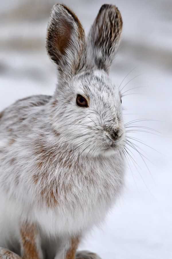 Alter by Tony Beck A Snowshoe Hare in winter Pelage - Ottawa, Ontario, Canada