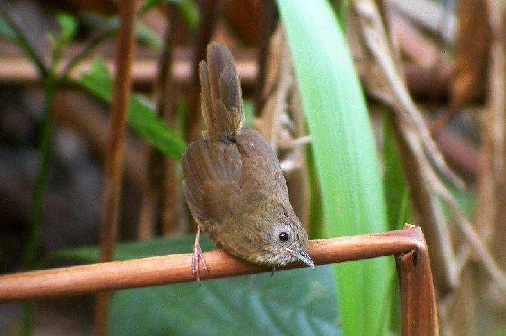 Mengetahui Ciri Khas Burung Hwamei Mini Dengan Suaranya Yang Gacor Burung Jalak