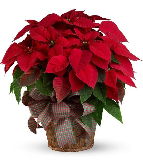 Use Poinsettias (fire energy) to increase your wealth and if you place them in front of mirrors; you will double this intention.