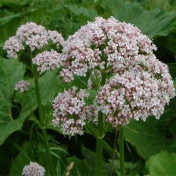 Image result for ValerianaOfficinalis Flower Offers the Peaceful Shade Of Relaxation