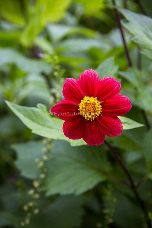 Red flower   © Elyse Childs Photography