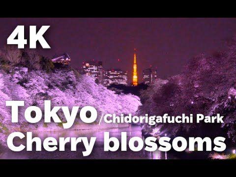 [4K]東京の桜•千鳥ヶ淵の満開絶景 Tokyo Cherry blossoms 東京観光  日本の桜 花見