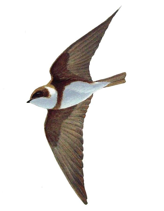 Golondrina barranquera.